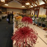 Chrysanthemum-002