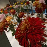 Chrysanthemum-003