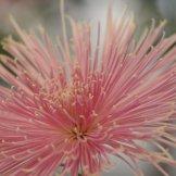 Chrysanthemum-015