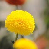 Chrysanthemum-024