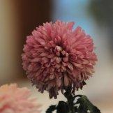 Chrysanthemum-026