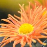 Chrysanthemum-031