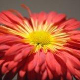Chrysanthemum-033