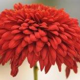 Chrysanthemum-035