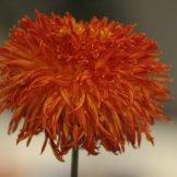 Chrysanthemum-037