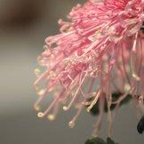 Chrysanthemum-048