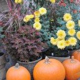Chrysanthemum-052