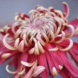 Chrysanthemum-053