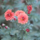 Chrysanthemum-054