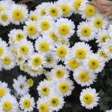 Chrysanthemum-055