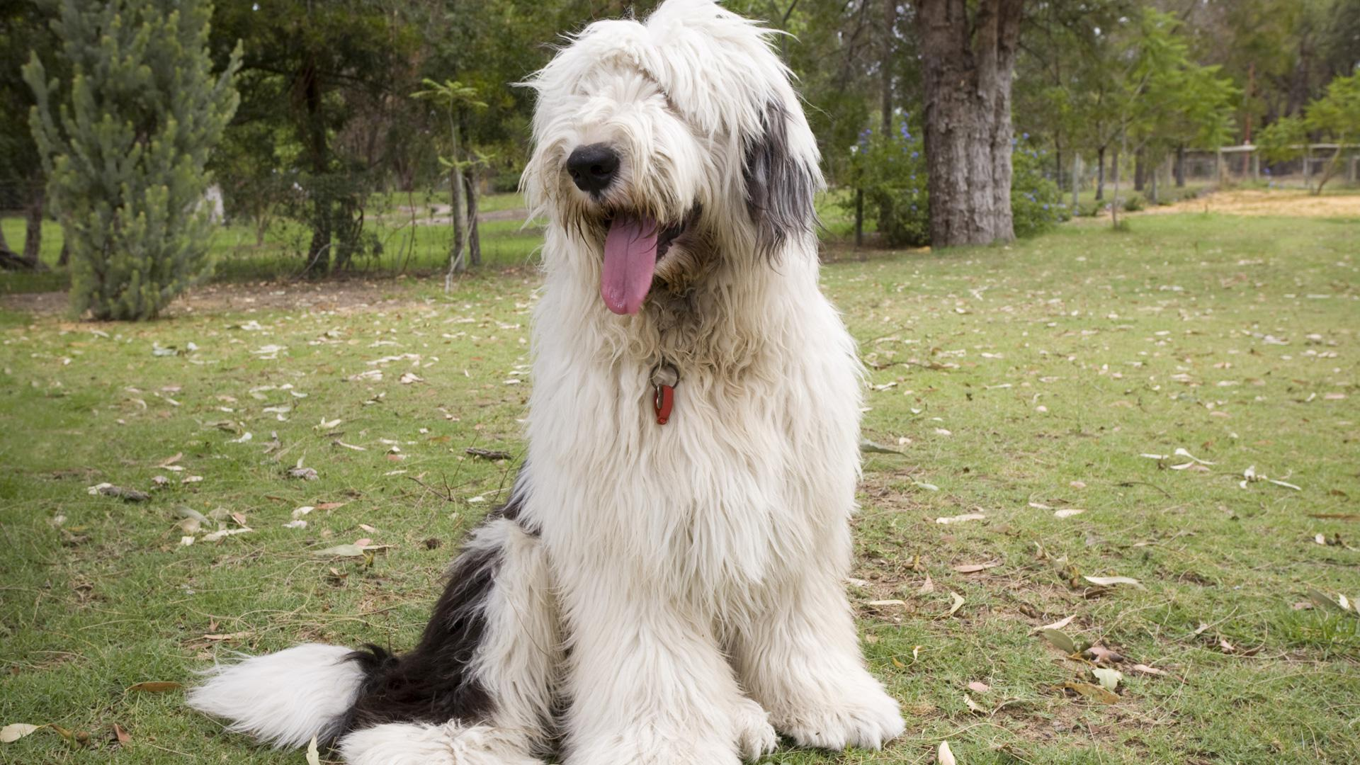Are Old English Meet The Breed Old English Sheepdog Sheknows