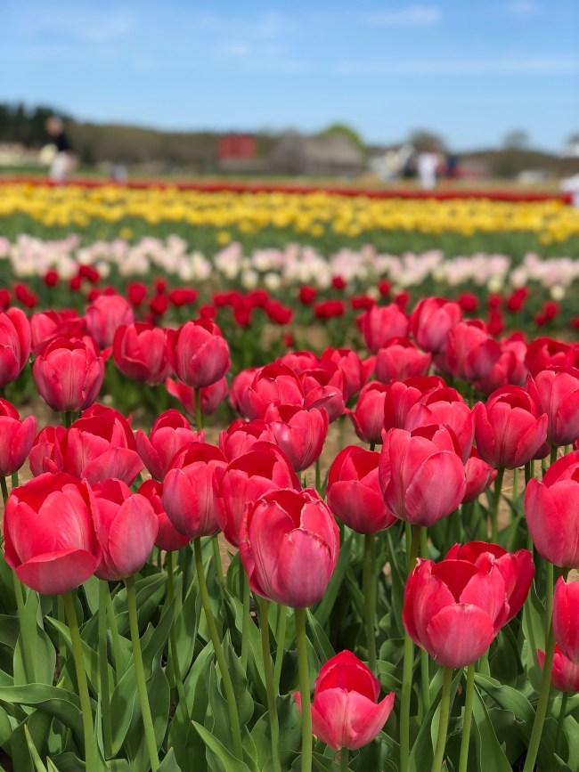 wicked tulips rhode island