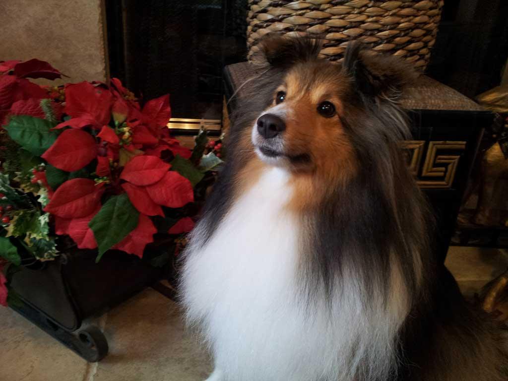Bentley Fall Wallpaper Sheltie Nation We Wish You A Sheltie Christmas