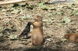 "Prairie Dog:  ""Guess I should have quickly eaten it so that the bird wouldn't have had the opportunity to snatch it."" Prairie Dog:  ""Thank you for sharing your lunch with me.  I've been waiting for someone as nice as you to share."""