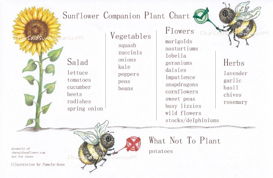 Best Sunflower Companion Plants, Vegetables and Flowers, with Charts