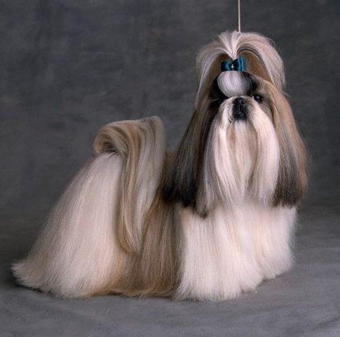 Falling Hair Haircut Wallpaper Shih Tzu Haircuts Top 6 Beautiful Shih Tzu Haircuts