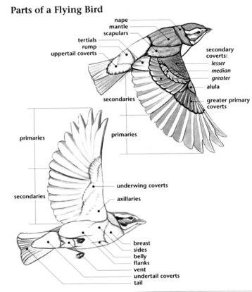bird anatomy diagram