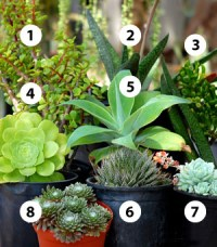 Shady Characters - Succulents for Shade - Cacti.com