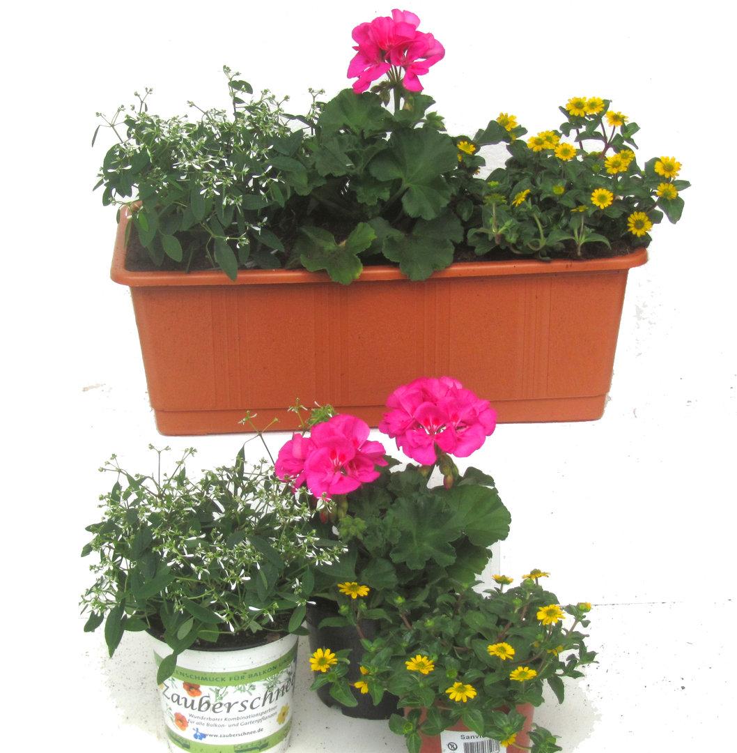 balkonpflanzen winterhart pflegeleicht On balkonpflanzen fruhling