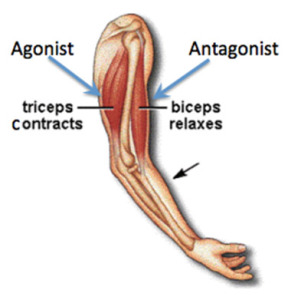 Agonist Antagonist Muscle Groups Illustration