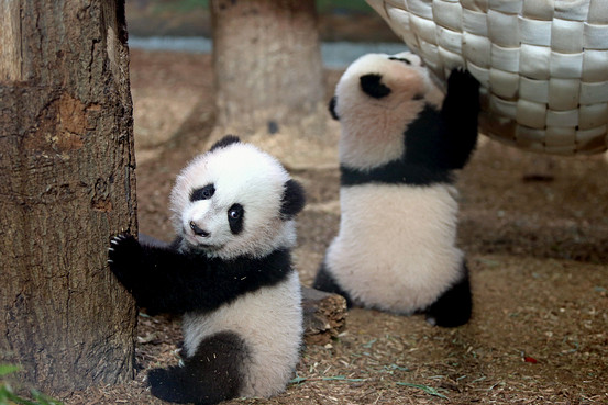 Very Cute Baby Twins Wallpaper Panda Insurance Private Equity Has Got It Covered
