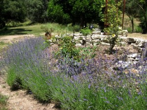 A nice mounding hedge of lavender will be the start of the herb garden