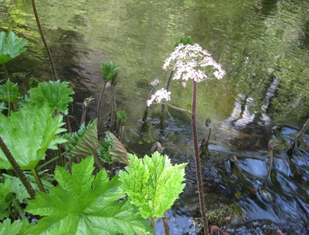 Indian Rhubarb, Darmera peltata