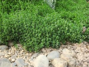 Germander or Teucrium chamaedrys