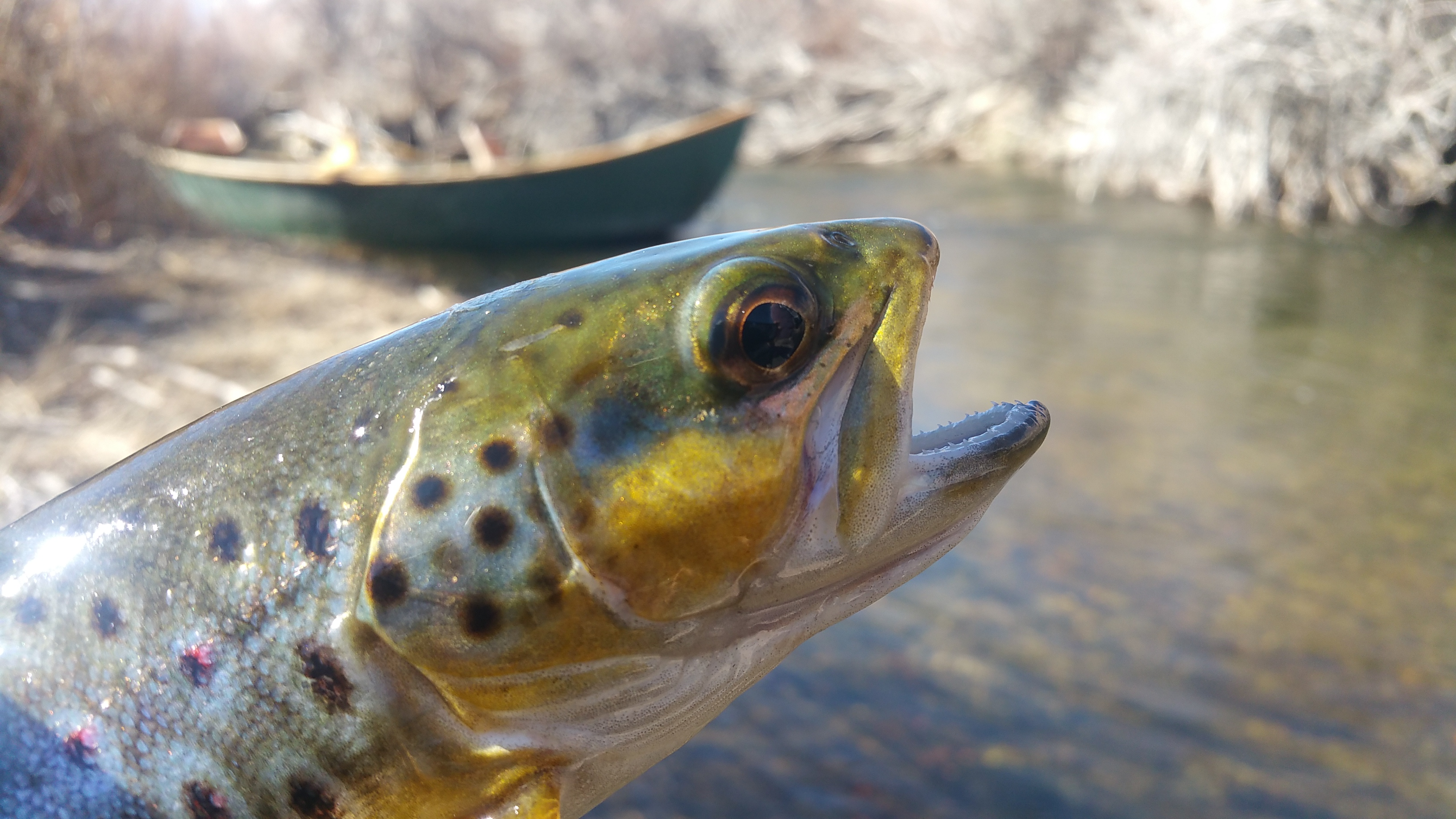Lower owens river fly fishing report bishop ca for Sierra fish in english