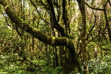 Анага: деревья, поросшие мхом