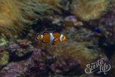 Лоро-парк: рыба-клоун