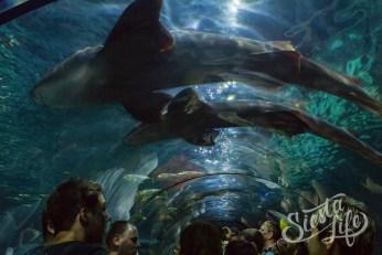 Лоро-парк: тоннель под аквариумом с акулами