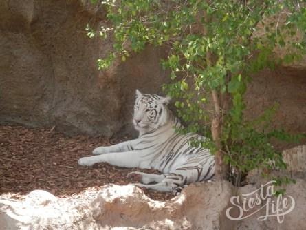 Лоро-парк: белый тигр