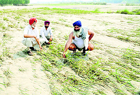 Farmers show their crop buried under sand across the Ravi in Ajnala.