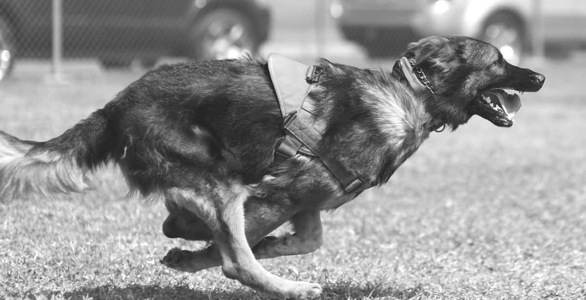 Explosive Detection Dog (EDD) Handler Silent Professionals