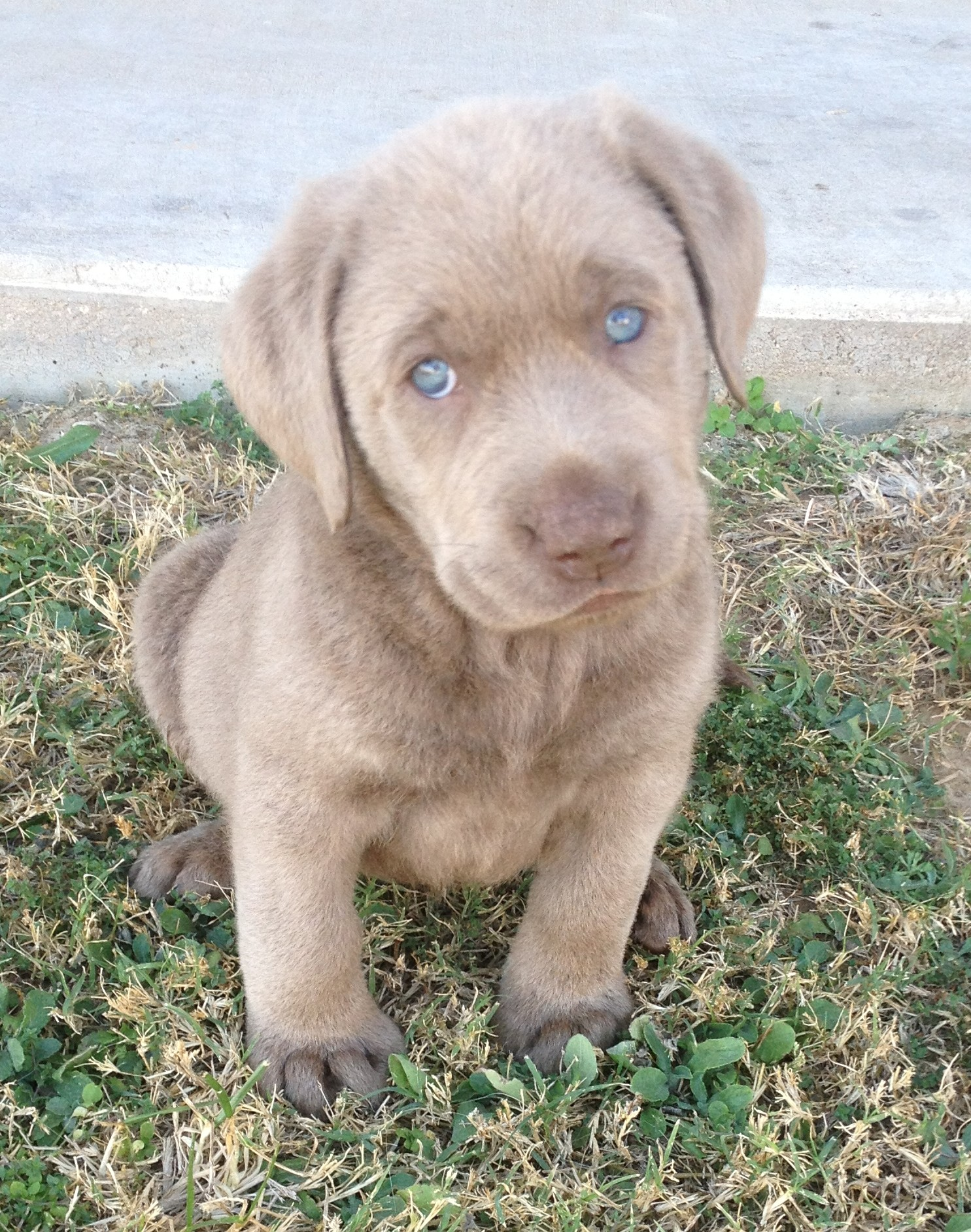 Lab Dog Puppy Price 2017 Baby Small Labrador Puppies Alabama For