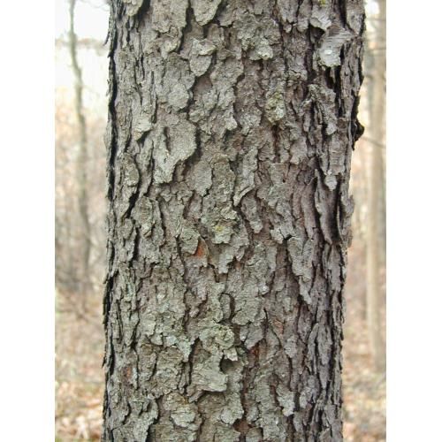 Medium Crop Of Cherry Tree Bark