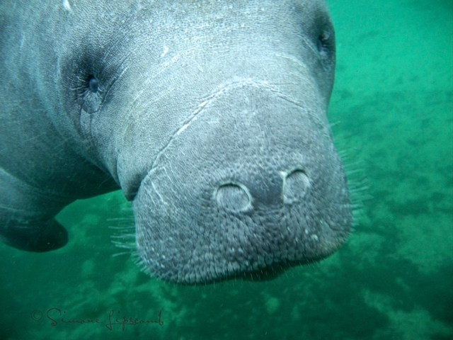 My manatee friend...our story is in another blog post from January 2013