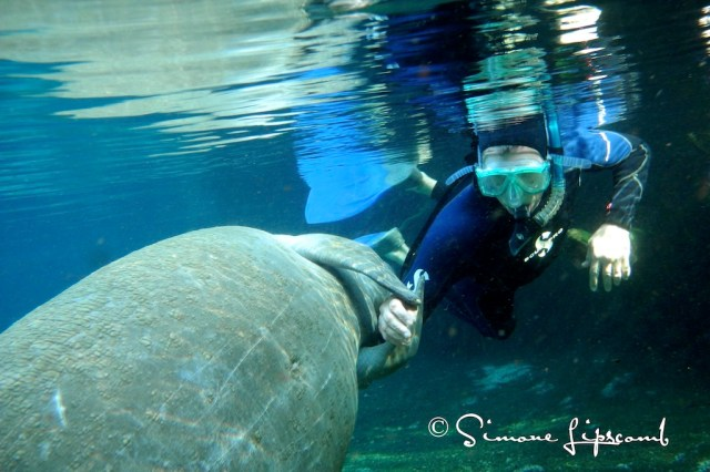 A manatee holding a human's hand....
