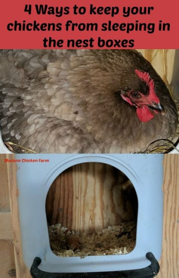 Homestead Blog Hop - Murano Chicken Farm