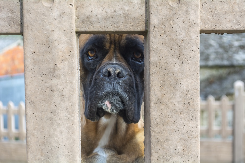 Boxer dog breed looking through the hole in a wall