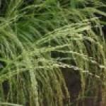 Teff: una alternativa ecológica para celíacos