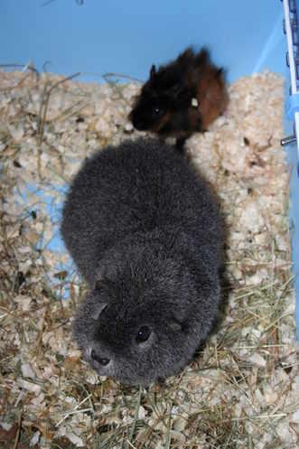 Guinea Pig Bonding / Behaviour advice