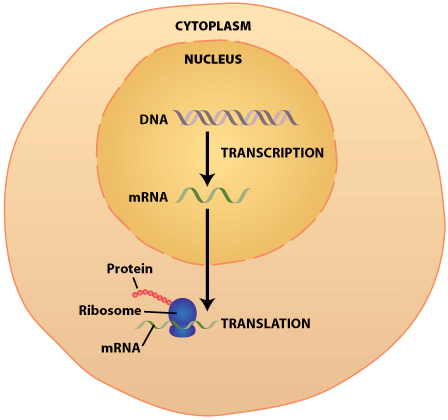 DNA Transcription  Translation Synthesis of Proteins \u2013 The Alcohol