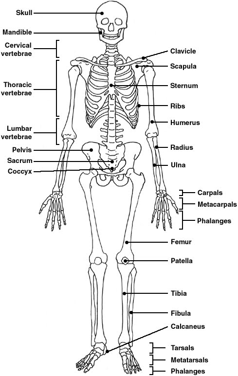 body skeletal system diagram