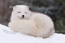 Difference Between Artic Fox And Fennec Fox Heaven Of