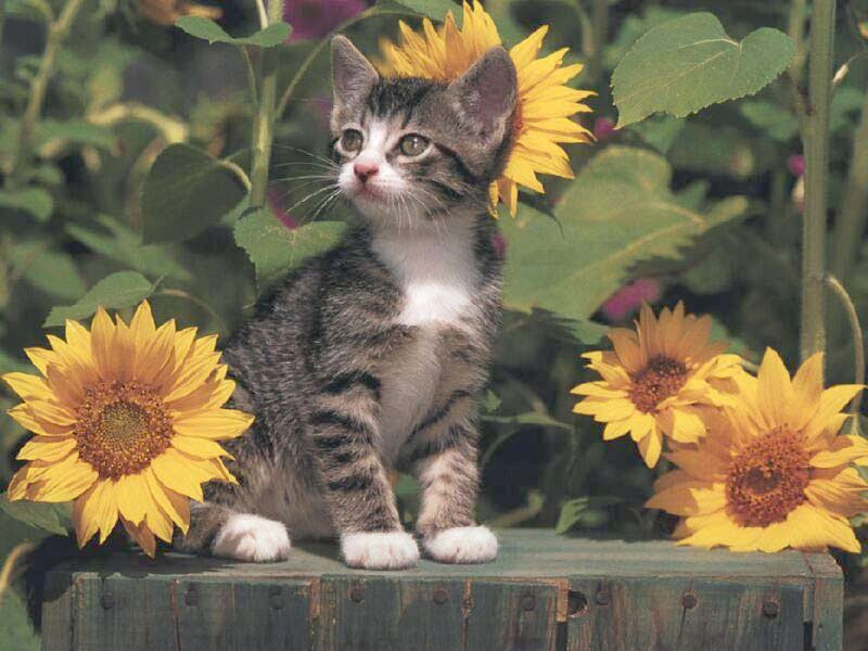 Cute Chat Wallpaper For Whatsapp Cat With Sunflowers Sunflower Facts