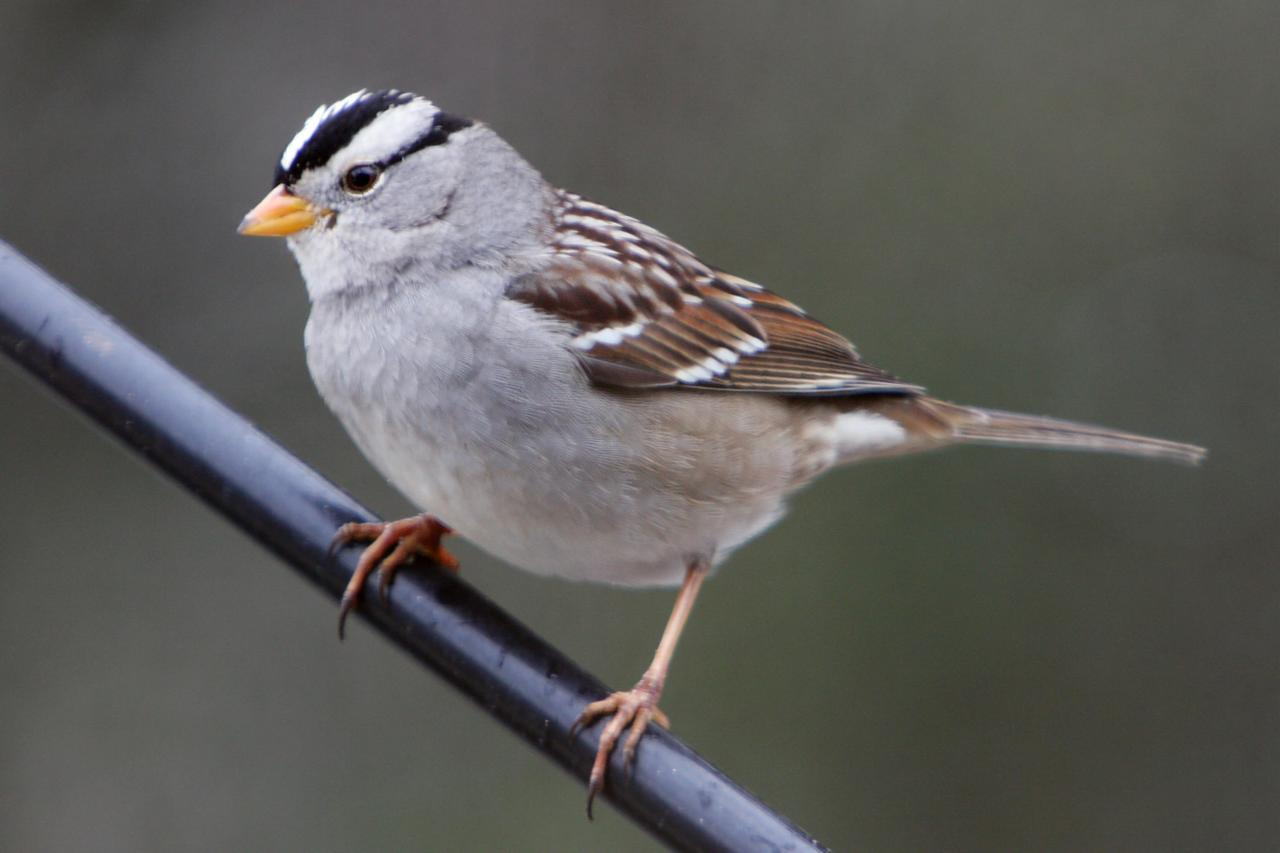 Creeper Wallpaper Hd White Crowned Sparrow Birds Of Pennsylvania