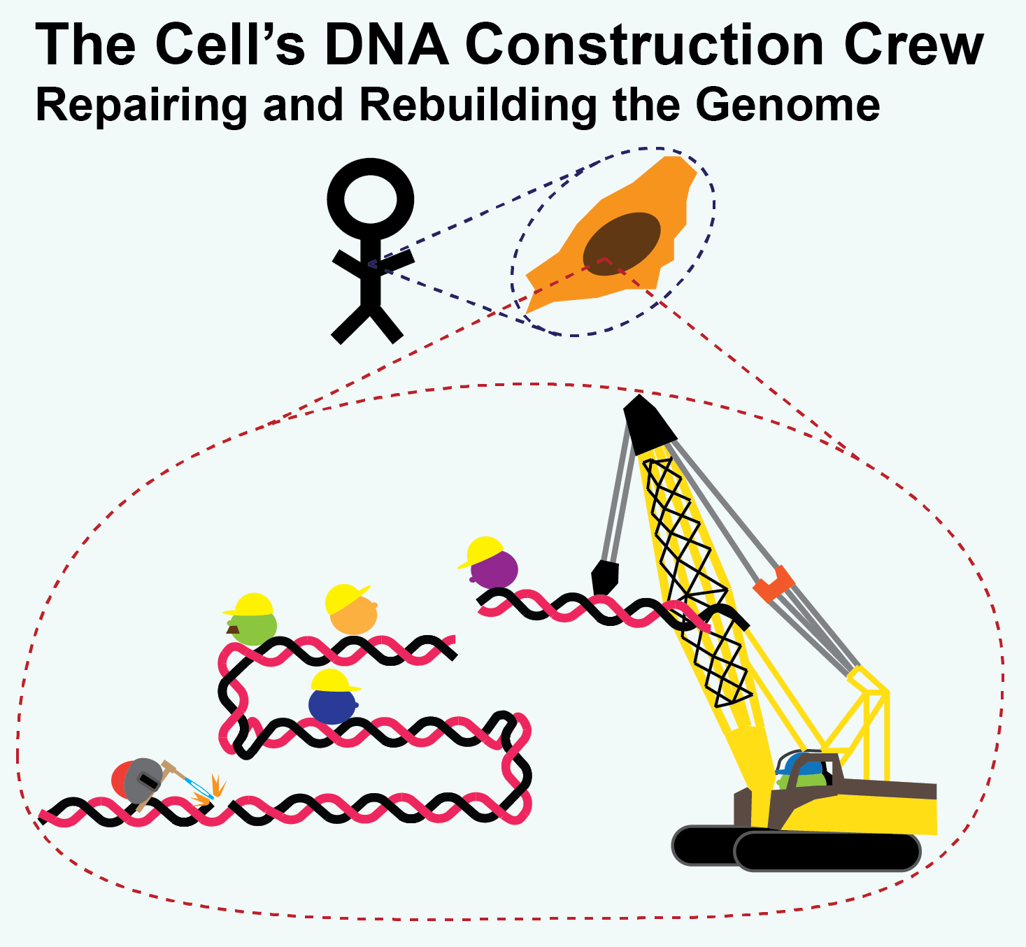 Construction Repair The Cell S Dna Construction Crew Repairing And Rebuilding The
