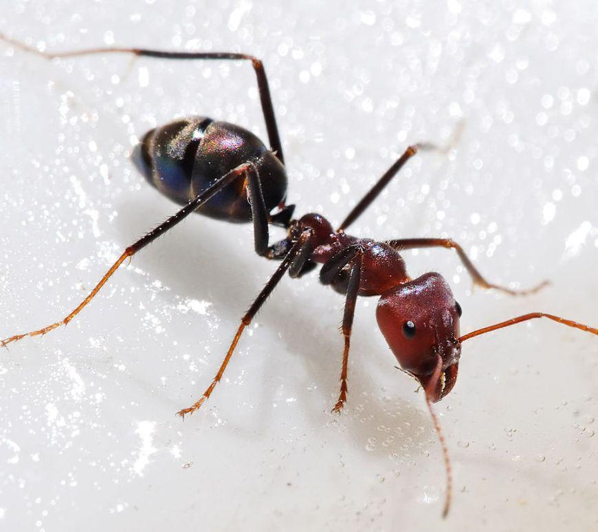 Ant feeding on honey [Image: Fir0002/Flagstaffotos  under CC-BY  license]